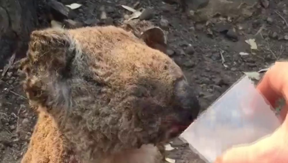Los koalas se enfrentan indefensos a los incendios en Australia