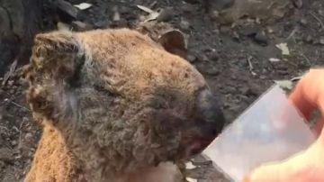 Imagen de un koala quemado bebiendo agua tras los incendios de Australia