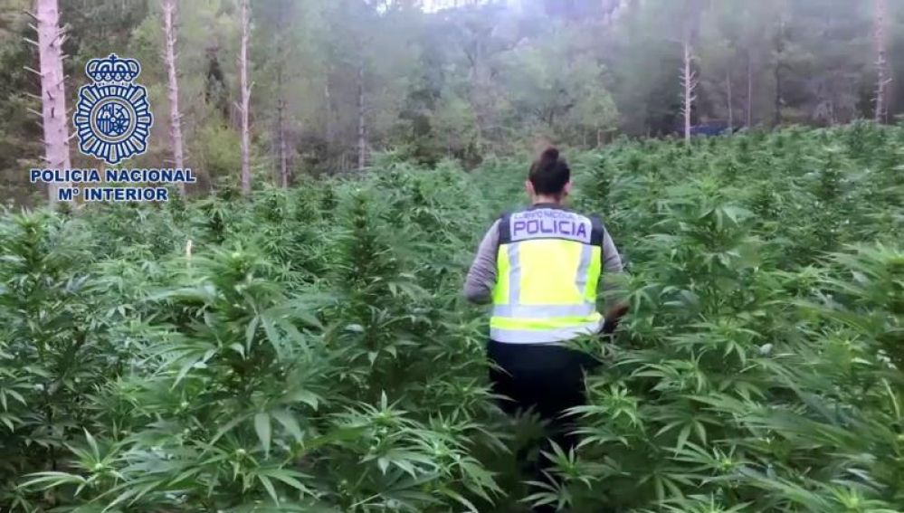La Policía desmantela la mayor plantación de marihuana en Aragón.