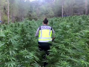 La Policía desmantela la mayor plantación de marihuana