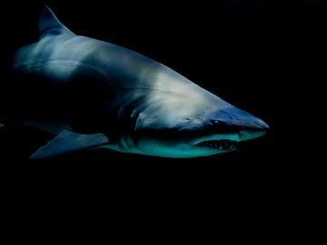 Un tiburón del Aquarium Pyramid en Moody Gardens