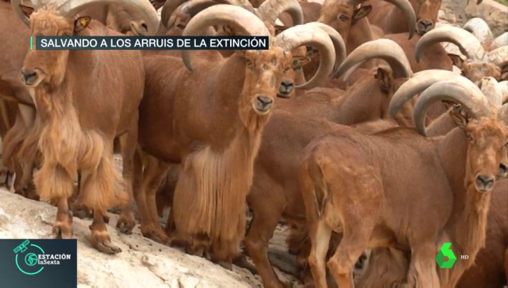 Los arruís, la especie africana que está salvándose de su extinción en los montes de Almería