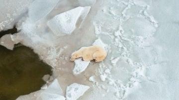 Vista aérea de un oso polar cerca de Churchill, al norte de Canadá