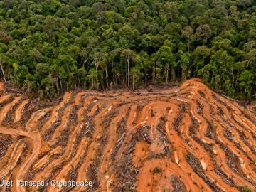 Masiva tala de árboles en la selva de Indonesia producir aceite de palma