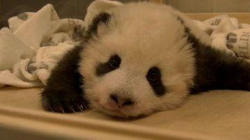 Bebé panda tratando dormir