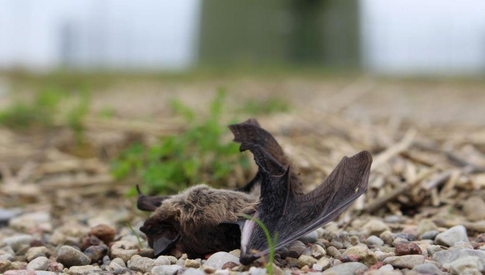 Los murcielagos colisionan contra las turbinas eolicas