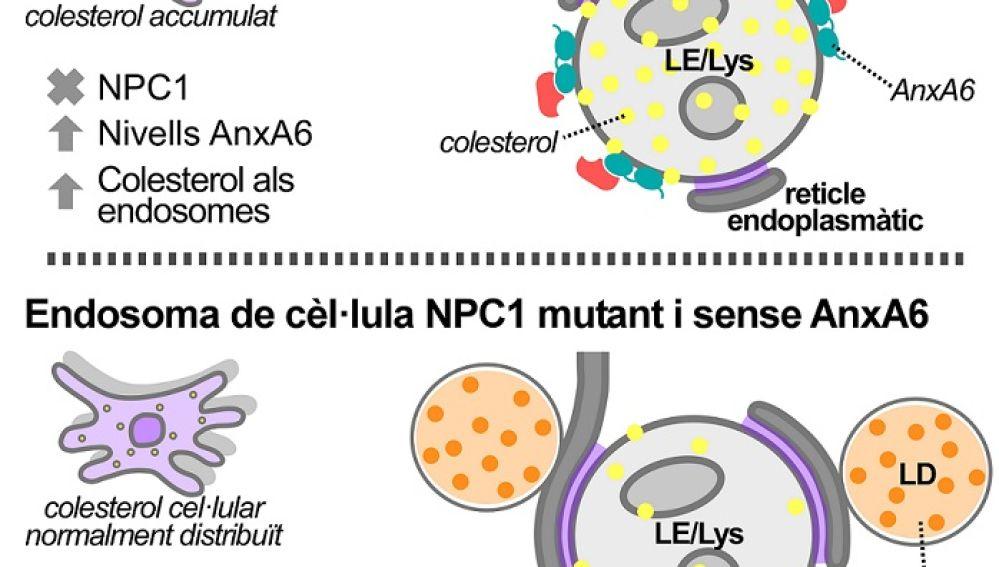 células con el gen NPC1 mutado