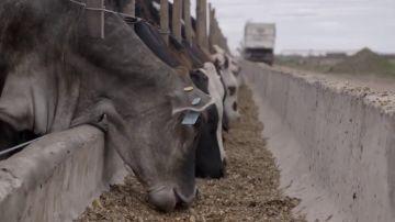 Así funcionan los 'feedlots': la soja es el alimento básico en los corrales de engorde de vacas, pollos y cerdos