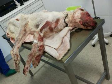 """La perra presentaba """"la cara destrozada"""" tras la brutal agresión"""