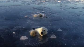 El vídeo viral de dos osos polares intentando cazar un dron en Rusia