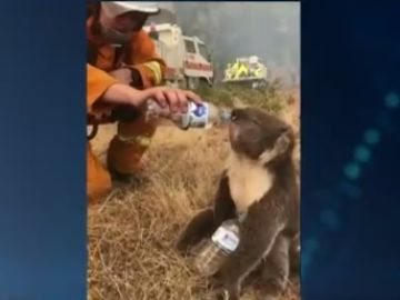 El bombero dando agua al koala