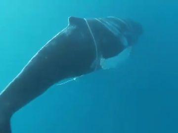 Localizan a una ballena jorobada atrapada con un cabo en el sur de Gran Canaria