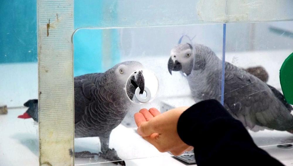 Los loros grises se ayudan mutuamente para obtener comida