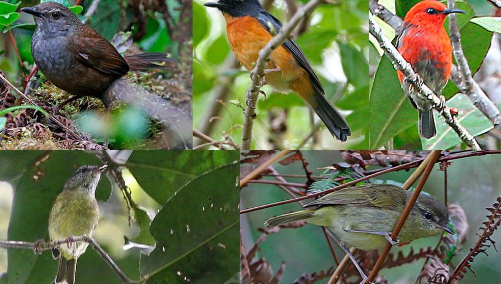 Hallan diez especies y subespecies de pajaros cantores en Indonesia