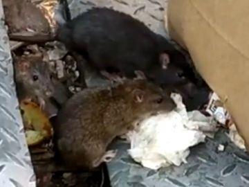 Invasión de ratas gigantes en el centro de Alcorcón