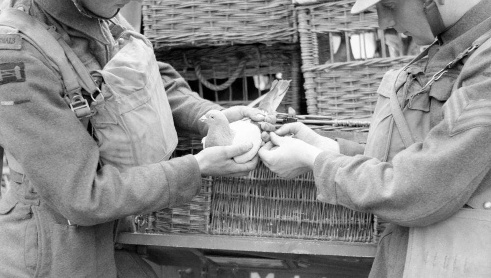 Palomas mensajeras durante la II Guerra Mundial