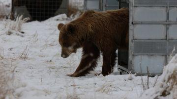 Imagen de uno de los osos trasladados a un santuario de EEUU