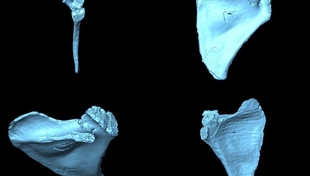 Asi era la espalda del Homo antecessor