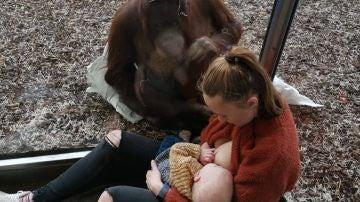 Una orangutana que acaba de perder a su cría se acerca a una madre que amamanta a su bebé