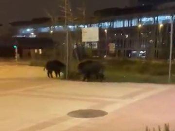El sorprendente vídeo de dos jabalíes andando por Las Tablas, Madrid