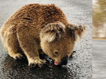 Imagen de un koala bebiendo agua en una carretera en Australia