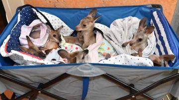 Pequeños kanguros rescatados en Australia para evitar que fueran pasto de las llamas