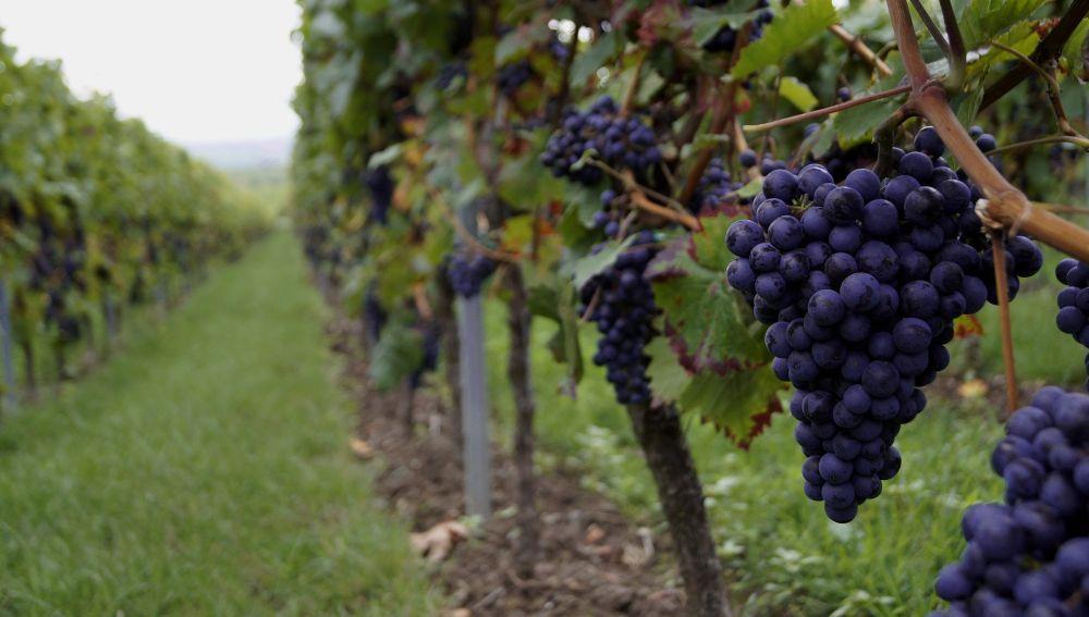 Identificados 17 compuestos clave del aroma de un vino
