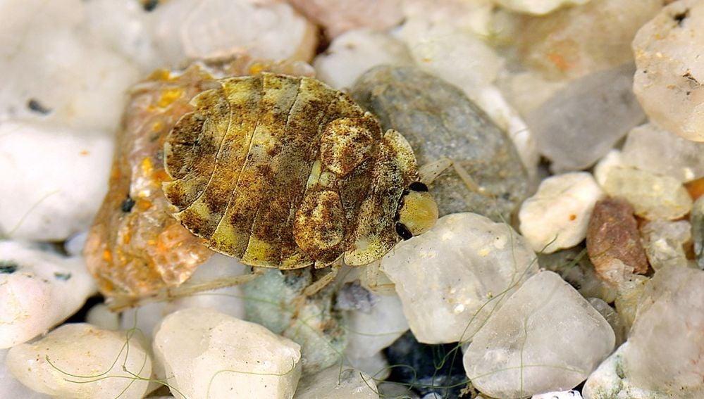 El nuevo estudio confirma la presencia de este insecto acuático en la península ibérica. Foto: Ekkerhardt Wachmann