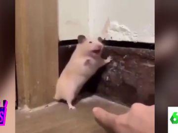 El susto de un hamster
