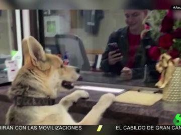 """Chico, el divertido perro que se hace viral por presentarse en comisaría para """"denunciar su propia desaparición"""""""