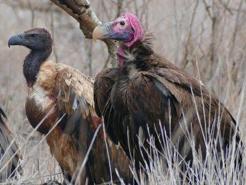 La caza furtiva de grandes herbivoros amenaza tambien a los buitres africanos