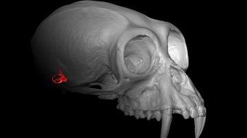 Lo que esconde el oido interno sobre el parentesco entre simios y humanos