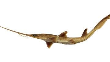 Dos nuevas especies de tiburon sierra de seis branquias aparecen en el oceano Indico