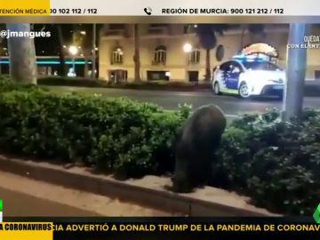 Pavos reales, jabalíes y cabras paseando por las calles, la consecuencia del confinamiento por coronavirus en España