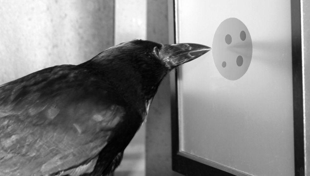 Experimento con cuervos