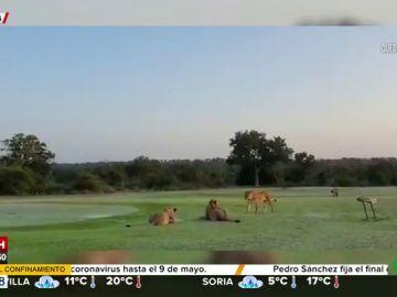 Así actúan los animales debido al confinamiento: un grupo de leones invade un campo de golf