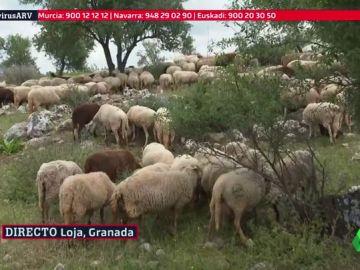 Escasez de esquiladores en España por la crisis del COVID-19