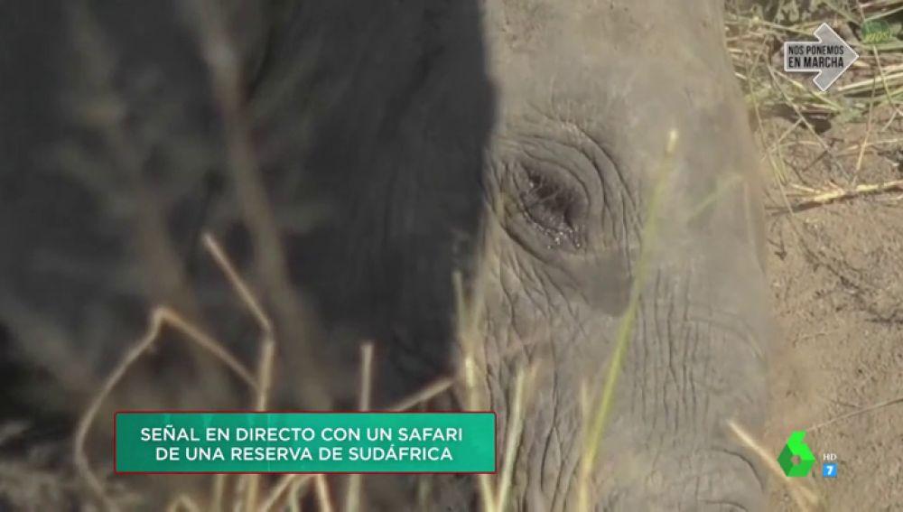 """El emocionante momento en el que un elefante aparece """"llorando"""" en Zapeando: así ha sido su conexión en directo con un safari"""
