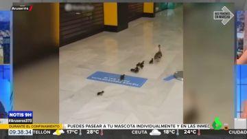 Una familia de patos se adueña de un centro comercial en Cádiz vacío a causa del confinamiento