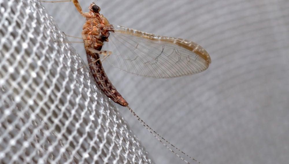 Las alas de los insectos y las branquias de las efimeras podrian compartir origen evolutivo