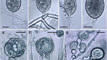 Este patogeno exotico limita la regeneracion del bosque mediterraneo