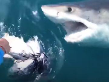 Un tiburón blanco ataca a unos pescadores en Maryland