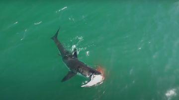 Un tiburón ataca a un delfín