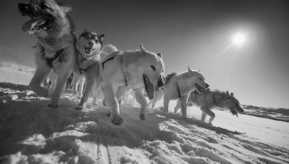 Perros de trineo