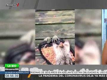 El divertido e inquietante vídeo de un mapache intentando robar comida a unos gatos