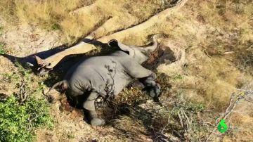 Más de 300 elefantes aparecen muertos en Botswana sin una causa aparente