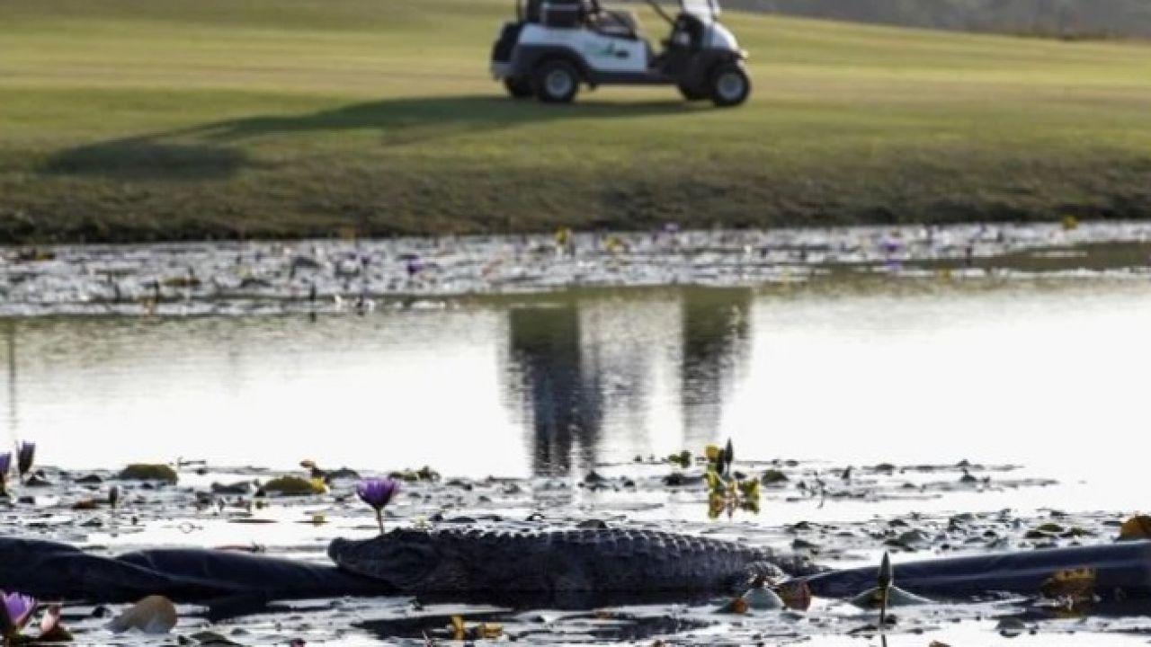 Un caimán en un campo de golf