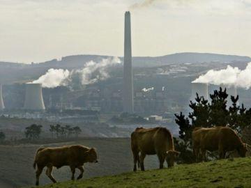 Vacas pastando frente a la central térmica de As Pontes