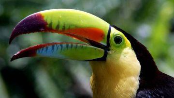 Tucán de garganta amarilla