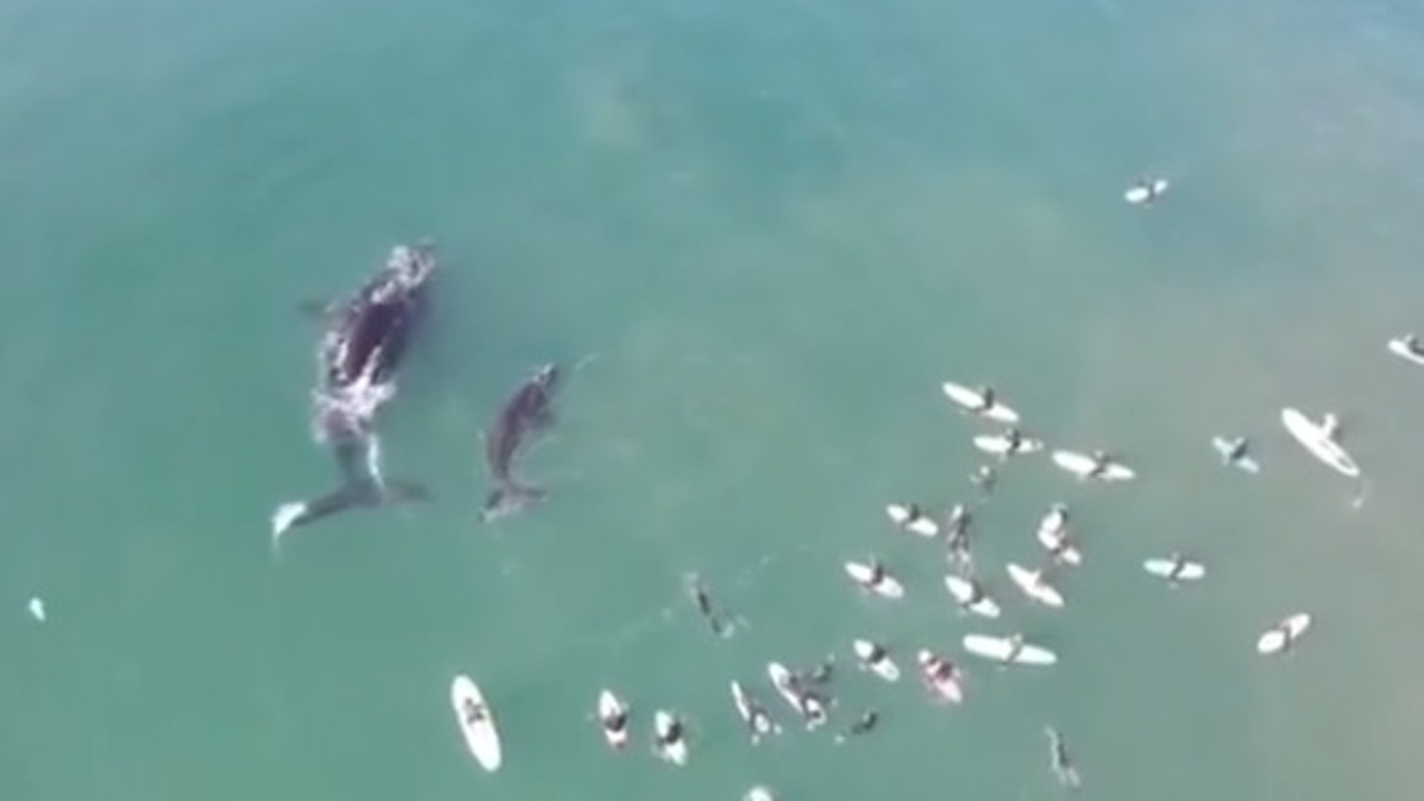 Una ballena y su cría junto a surfistas